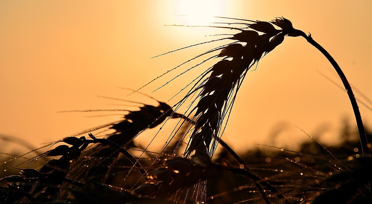 現代の小麦